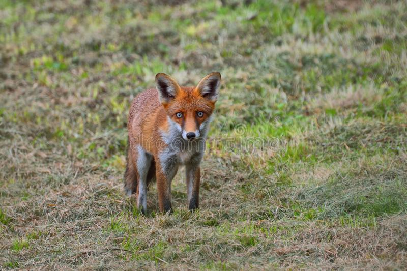 Red fox vulpes vulpes startled by camera royalty free stock photography