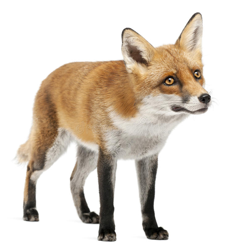 Red Fox, Vulpes vulpes, 4 years old stock photo