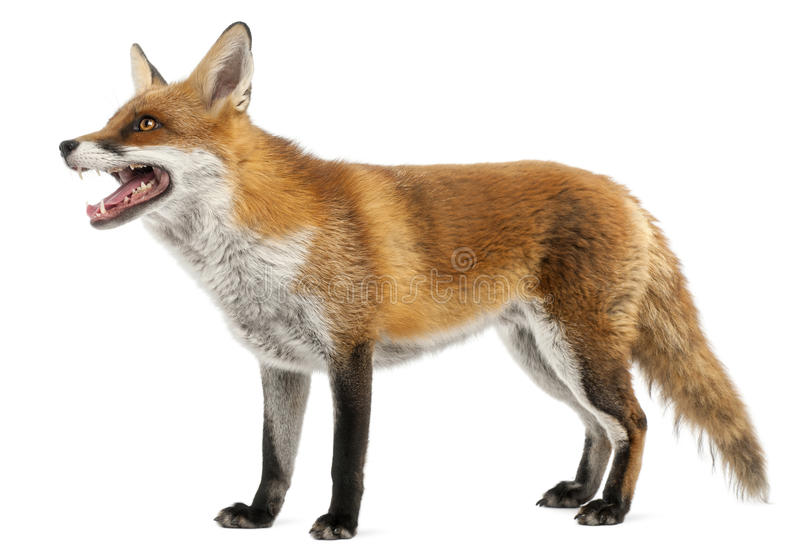 Red Fox, Vulpes vulpes, 4 years old royalty free stock images