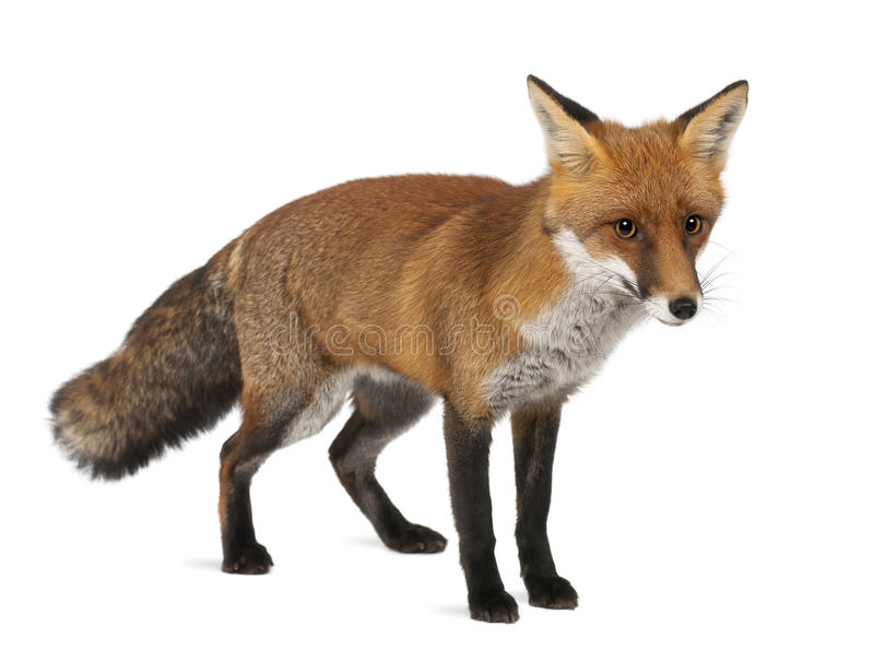 Red fox, Vulpes vulpes, 4 years old, standing royalty free stock photos