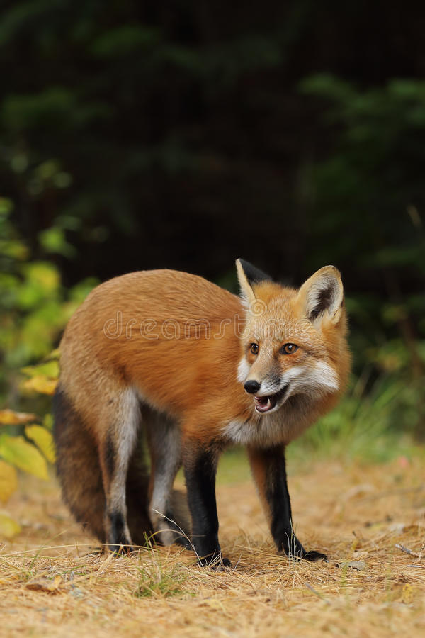 Red fox Vulpes vulpes in autumn in Algonquin Park, Canada. Red fox Vulpes vulpes with bushy tail in autumn in Algonquin Park, Canada royalty free stock photography