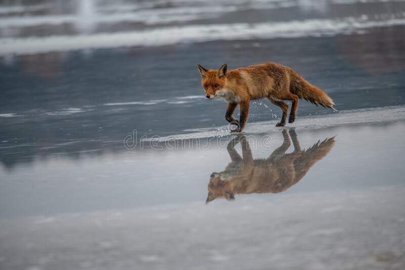 Red fox Vulpes vulpes with a bushy tail hunting i. N the snow in winter in Algonquin Park in Canada royalty free stock image