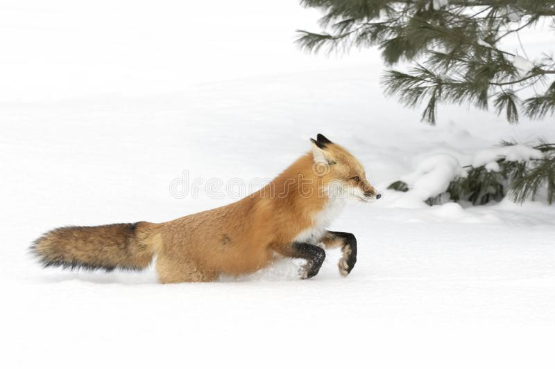 A Red fox Vulpes vulpes with a bushy tail and orange fur coat isolated on white background running in the freshly fallen snow in stock image