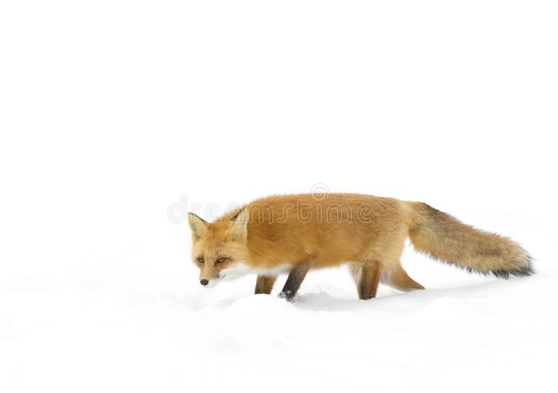 Red fox (Vulpes vulpes) with a bushy tail isolated on white background hunting in the freshly fallen snow in Algonquin. Red fox Vulpes vulpes with royalty free stock images