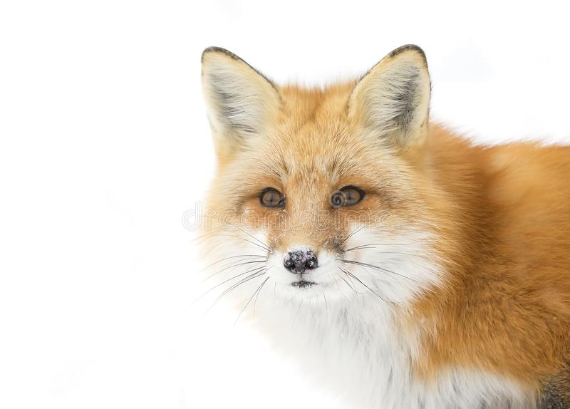 A Red fox Vulpes vulpes closeup in Algonquin Park in winter in Canada. Red fox Vulpes vulpes isolated against a white background walking in the winter snow in stock photography