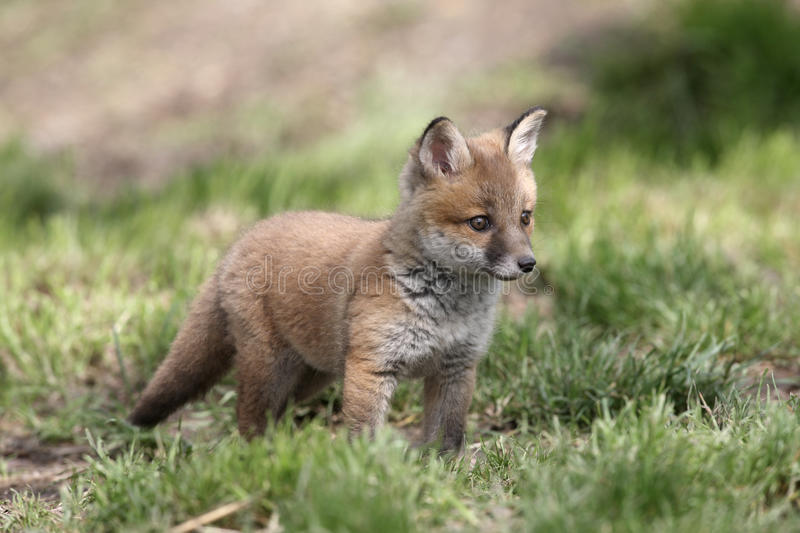 Red fox, Vulpes vulpes. Cub in grass stock photography