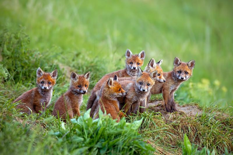 Red fox, vulpes vulpes, cubs sitting by the den. Group of animal babies looking around. Wildlife scenery with multiple small wild predators stock photo