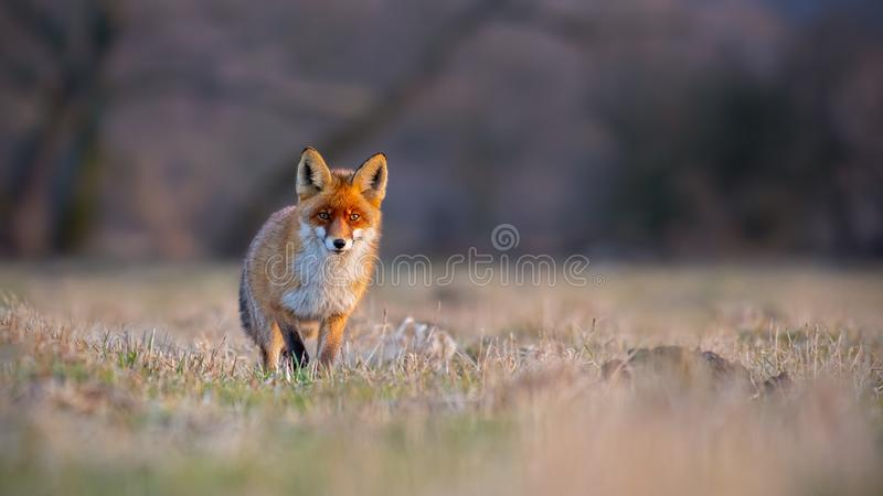 Red fox, vulpes vulpes, on a meadow at sunset. Mammal predator on a hunt. Panoramatic composition of wildlife scenery stock photos