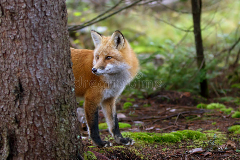Red fox Vulpes vulpes peers out from behind a tree in Algonquin Park stock photo