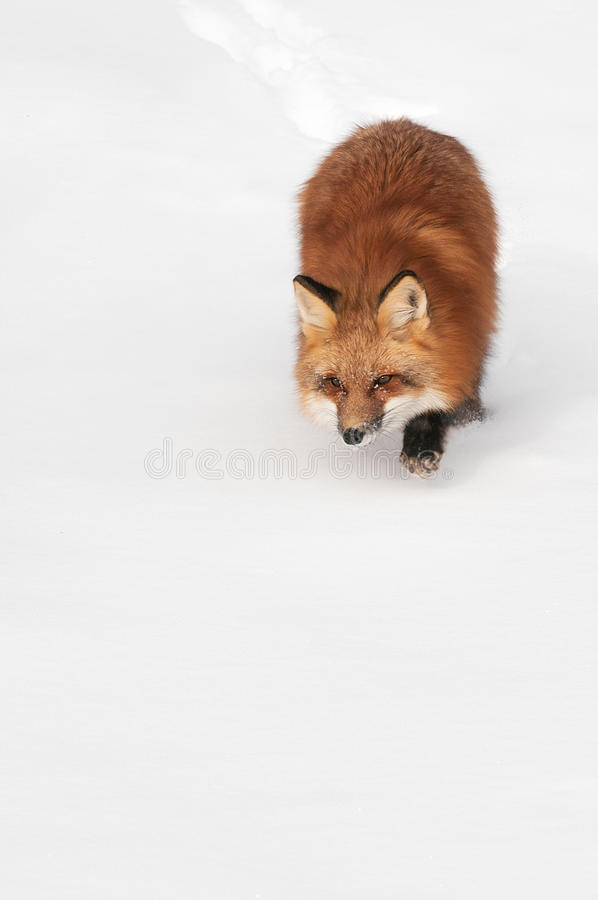 Download Red Fox (Vulpes Vulpes) Prowl Copy Space Bottom Stock Photo - Image: 32648324