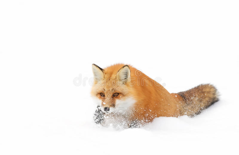Red fox (Vulpes vulpes) with a bushy tail isolated on white background hunting in the freshly fallen snow in Algonquin royalty free stock image