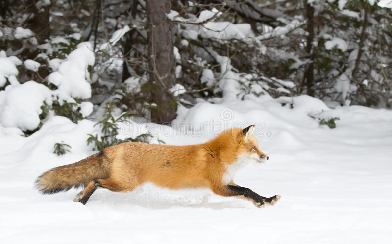 Red fox Vulpes vulpes running through the snow in winter in Algonquin Park in Canada royalty free stock photography