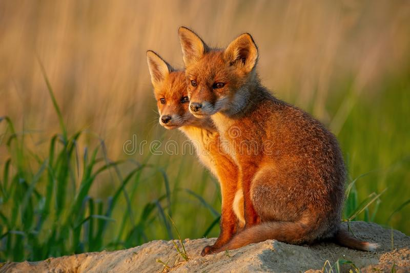 Red fox, vulpes vulpes, small young cubs near den curiously weatching around. royalty free stock images