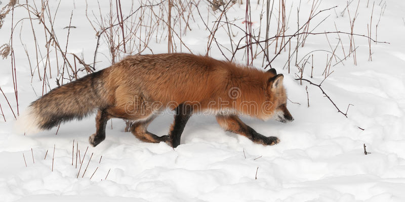 Download Red Fox (Vulpes Vulpes) Trots Right Stock Image - Image: 30623563