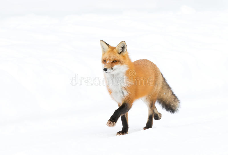 Red fox (Vulpes vulpes) with a bushy tail isolated on white background hunting in the freshly fallen snow in Algonquin. Red fox Vulpes vulpes with royalty free stock photography