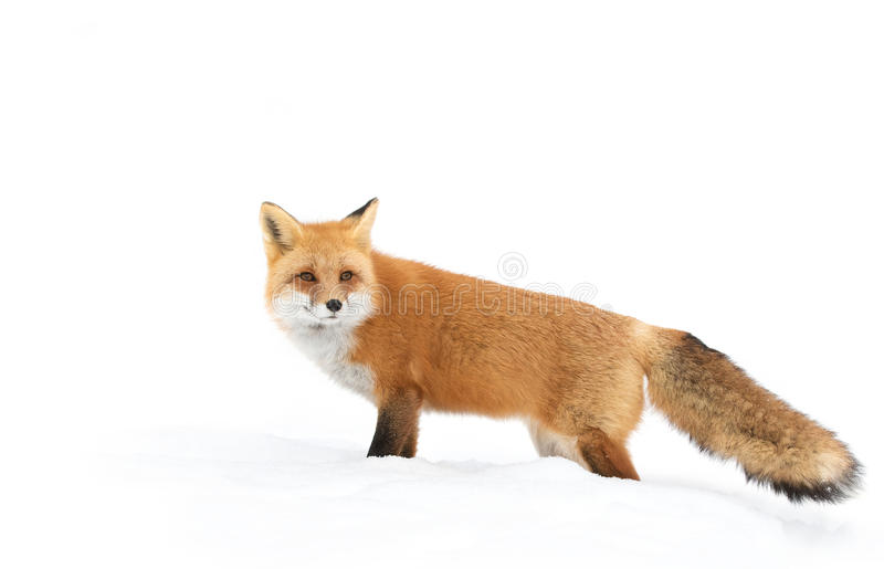 Red fox (Vulpes vulpes) with a bushy tail isolated on white background hunting in the freshly fallen snow in Algonquin. Red fox Vulpes vulpes with stock photography