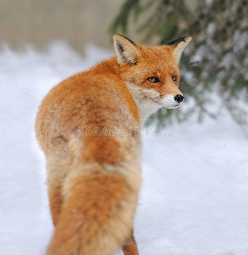 Red fox. (Vulpes vulpes) in winter time royalty free stock photos