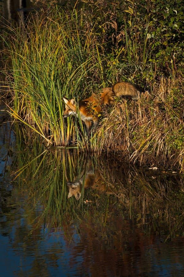 Red Fox Vulpes vulpes In Weeds Along Shoreline Odzwierciedla Jesień obraz stock