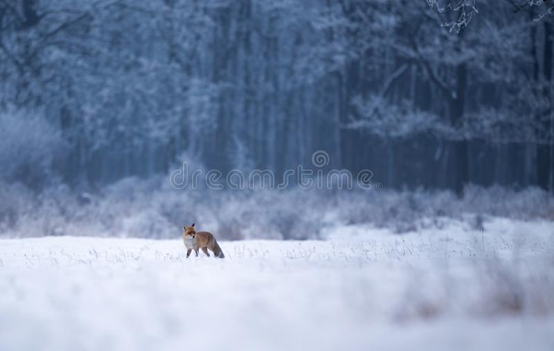 Red fox walking in forest on snow. Red fox walking on snow with forest in background. Wildlife in natural habitat in winter time stock photography