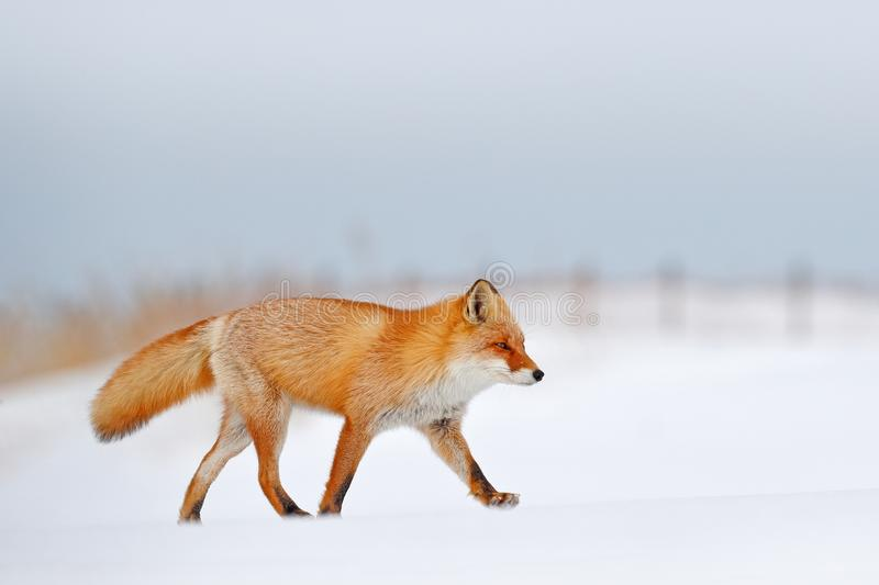 Red fox in white snow. Beautiful orange coat animal nature. Wildlife Europe. Detail close-up portrait of nice fox. Cold winter wit. H orange fur fox. Hunting stock photos