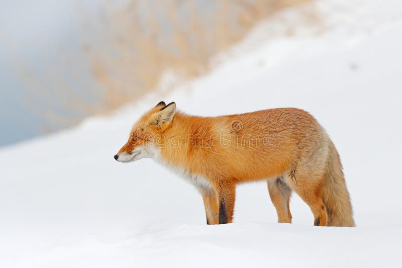 Red fox in white snow. Beautiful orange coat animal nature. Wildlife Europe. Detail close-up portrait of nice fox. Cold winter wit. H orange fur fox. Hunting stock images