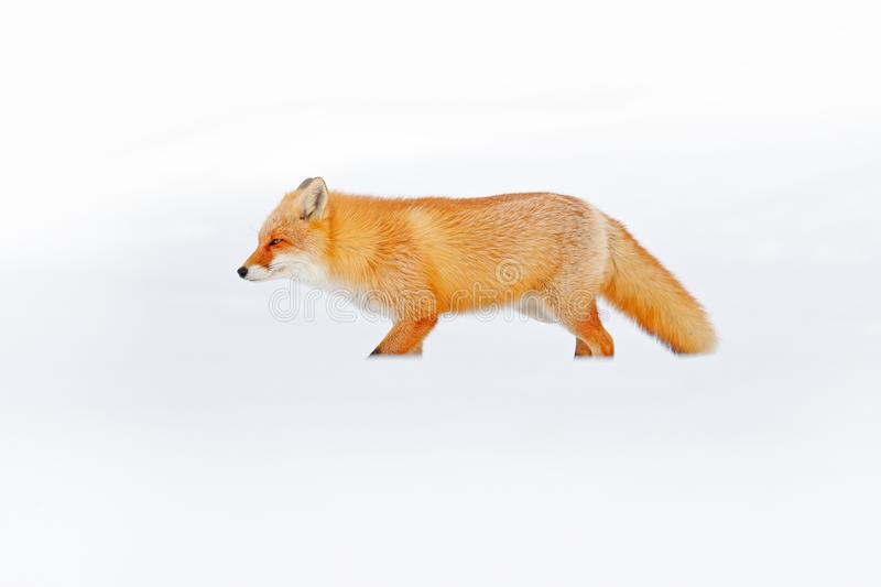 Red fox in white snow. Cold winter with orange fur fox. Hunting animal in the snowy meadow, Japan. Beautiful orange coat animal na. Ture. Wildlife Europe royalty free stock photography