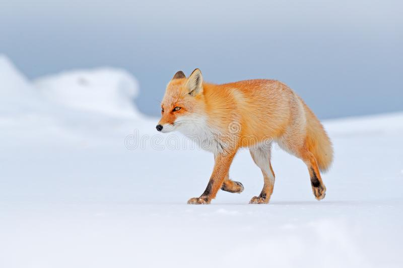 Red fox in white snow. Cold winter with orange fur fox. Hunting animal in the snowy meadow, Japan. Beautiful orange coat animal na. Ture. Wildlife Europe royalty free stock image