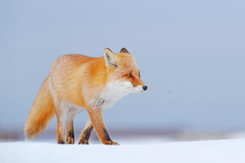 Red fox in white snow. Cold winter with orange fur fox. Hunting animal in the snowy meadow, Japan. Beautiful orange coat animal na. Ture. Wildlife Europe. Detail royalty free stock images