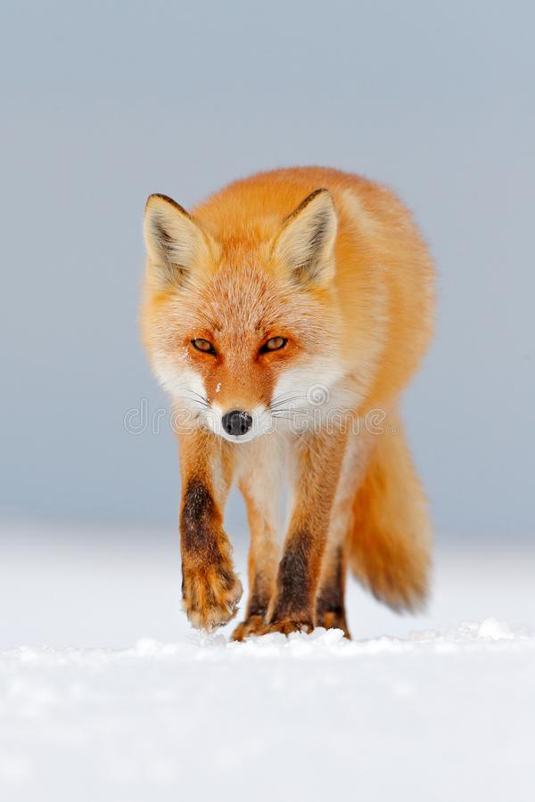 Red fox in white snow. Cold winter with orange fur fox. Hunting animal in the snowy meadow, Japan. Beautiful orange coat animal na. Ture. Wildlife Europe. Detail stock photos