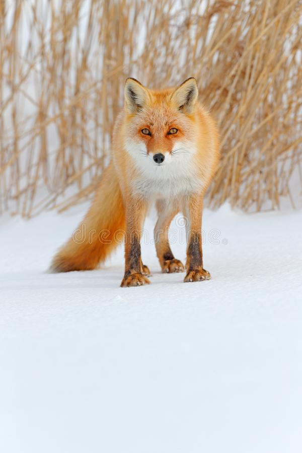 Red fox in white snow. Cold winter with orange fur fox. Hunting animal in the snowy meadow, Japan. Beautiful orange coat animal na. Ture. Wildlife Europe. Detail stock photo