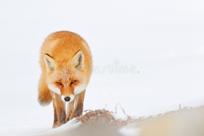 Red fox in white snow. Cold winter with orange fur fox. Hunting animal in the snowy meadow, Japan. Beautiful orange coat animal. Nature. Wildlife Europe. Detail stock photos