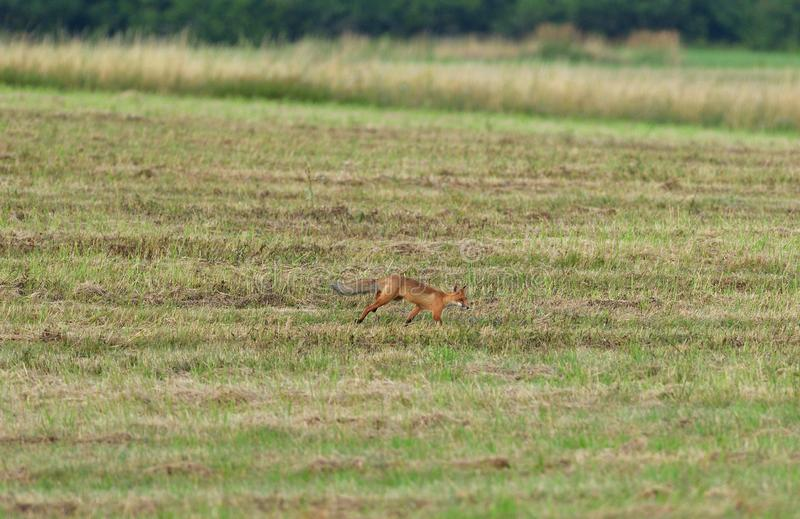 Red fox wildlife hunting on the meadow for feed. Wild red fox walking on the meadow looking for food royalty free stock image