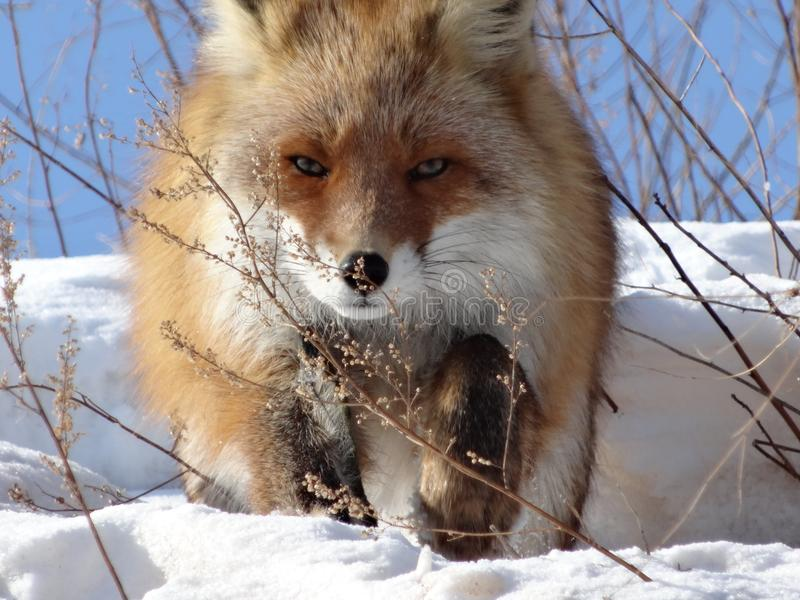 Red Fox in the wildlife. Wild fox in the vicinity of the photographer. Looks from behind a tree. Looking at the camera royalty free stock photography