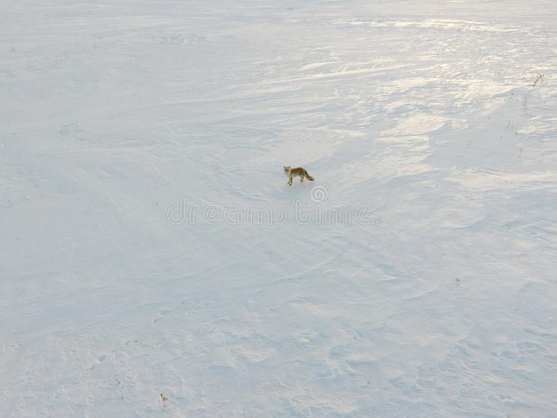 Red Fox in the Winter. royalty free stock photo