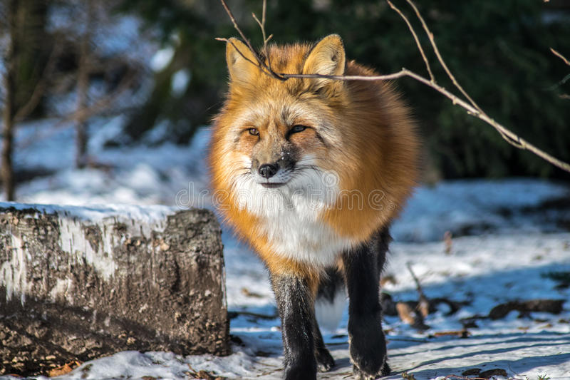 Red fox in winter royalty free stock photo