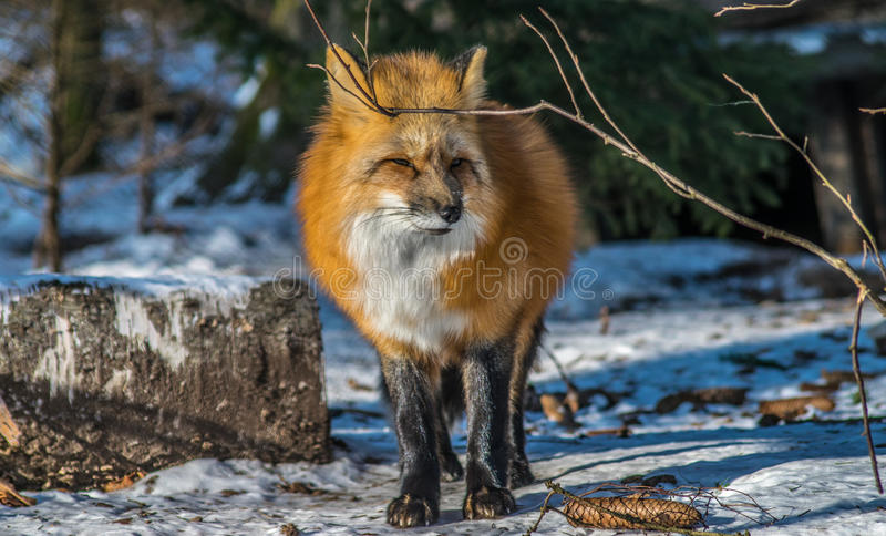 Red fox in winter royalty free stock image
