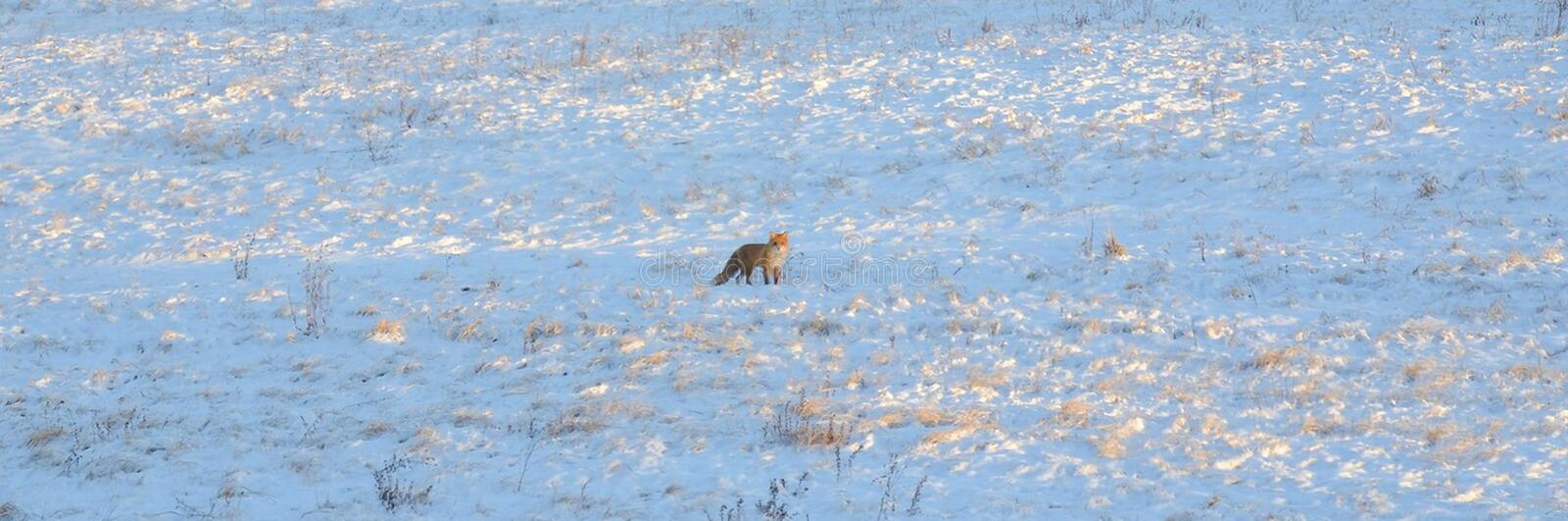 Red fox on the winter field. Red fox on the field in the winter season royalty free stock photo