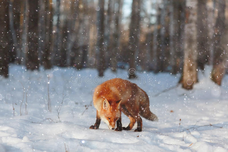 Red fox in winter forest. Pretty red fox in winter forest royalty free stock photos