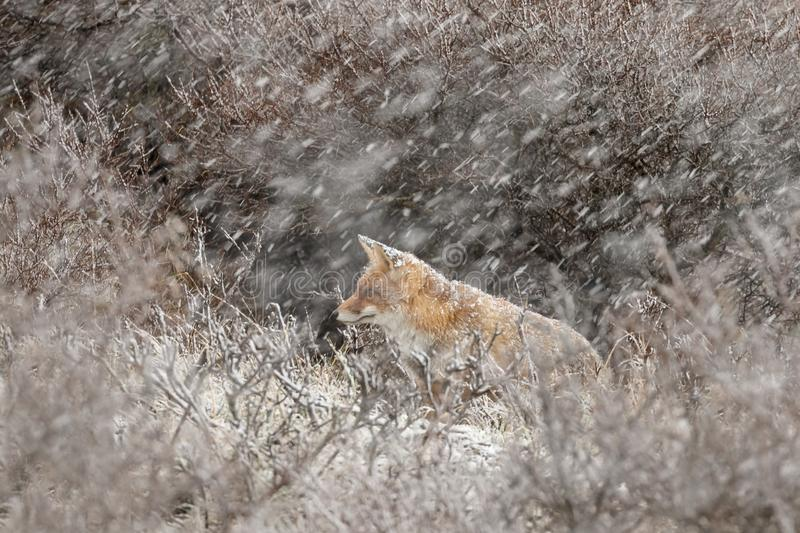Red fox in a winter landschap,. During first snowfall at the Dutch dunes royalty free stock images