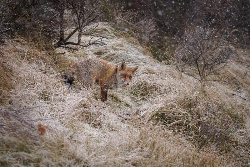 Red fox in a winter landschap,. During first snowfall at the Dutch dunes stock images