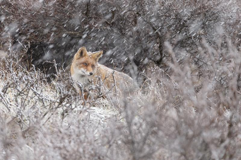 Red fox in a winter landschap,. During first snowfall at the Dutch dunes royalty free stock photo