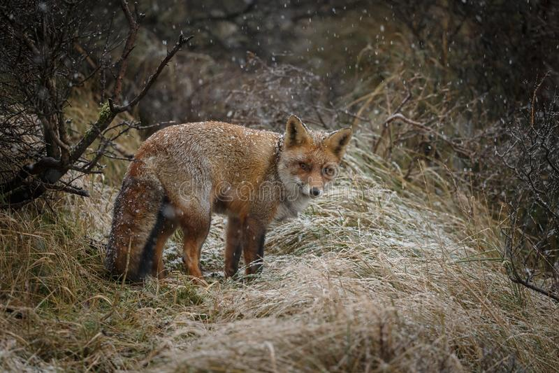 Red fox in a winter landschap,. During first snowfall at the Dutch dunes stock photos