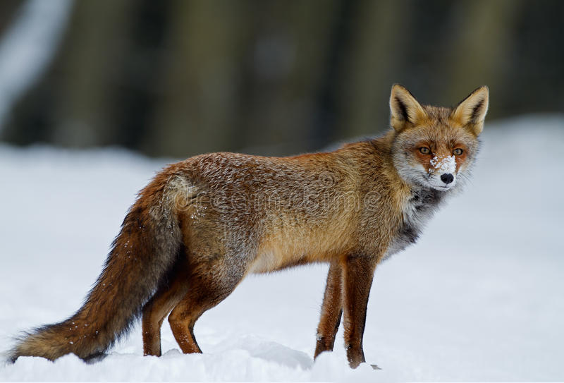 Red fox. In a winter setting stock photography