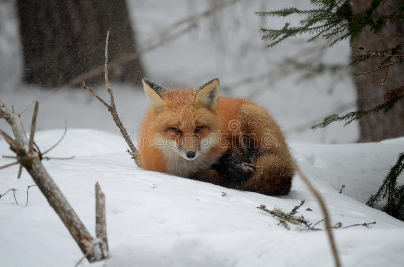 Red Fox in a winter setting. In Algonquin Park in Ontario, Canada stock photography