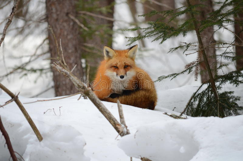 Red Fox in a winter setting. In Algonquin Park in Ontario, Canada royalty free stock photo
