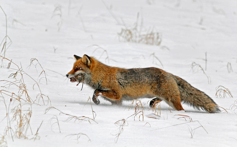 Red fox witha vole royalty free stock photography