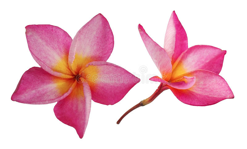 Red frangipani flower, Pumeria rubra, front and side views isolated on white background stock images