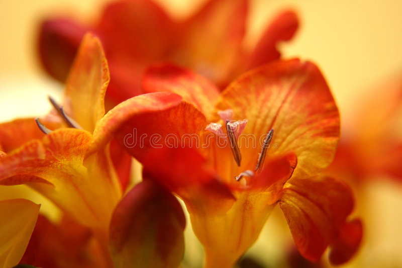 Red freesias stock images