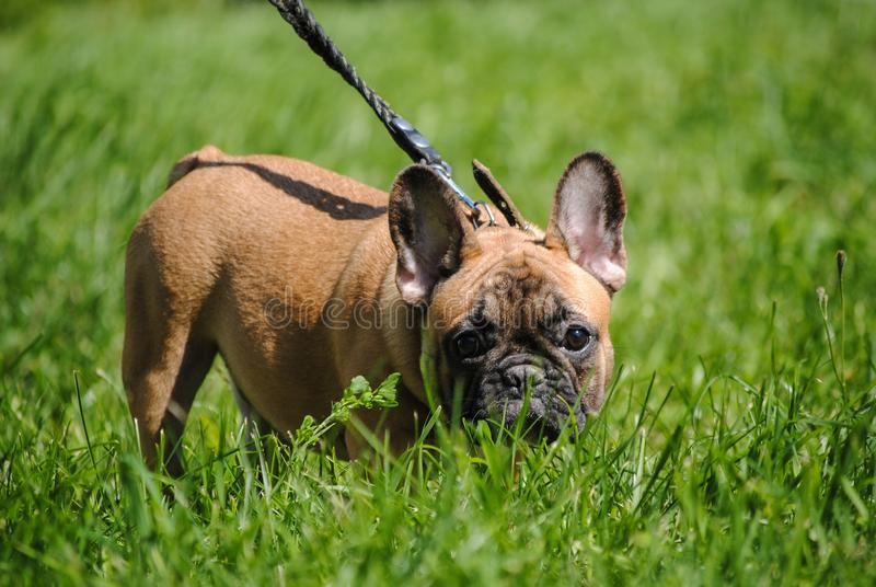 Red French bulldog on green grass royalty free stock photos