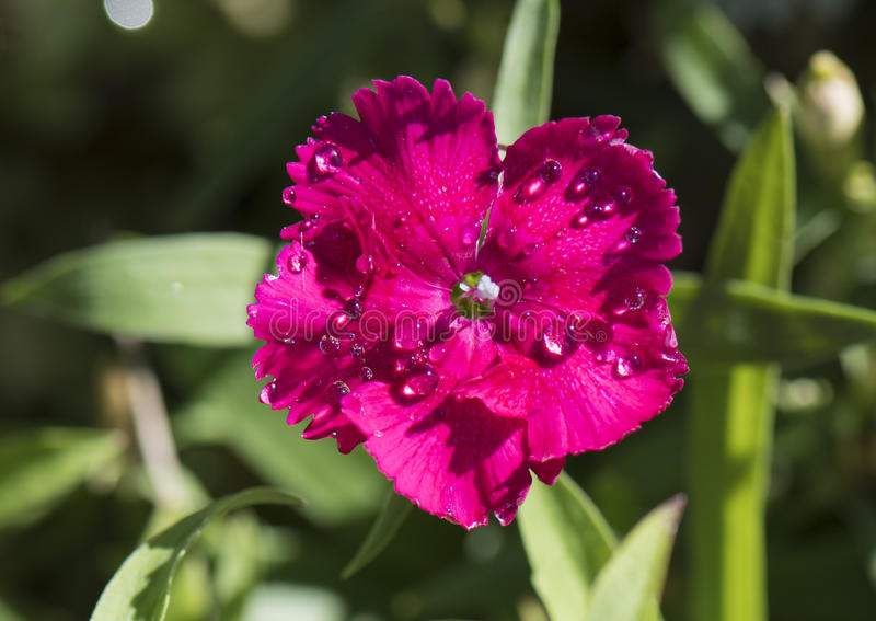 A red fringed petal with dew drops, dianthus. Pictured is a closeup view of a red petal of dianthus, with morning dew drops. Dianthus is an ornamental plant with stock photos